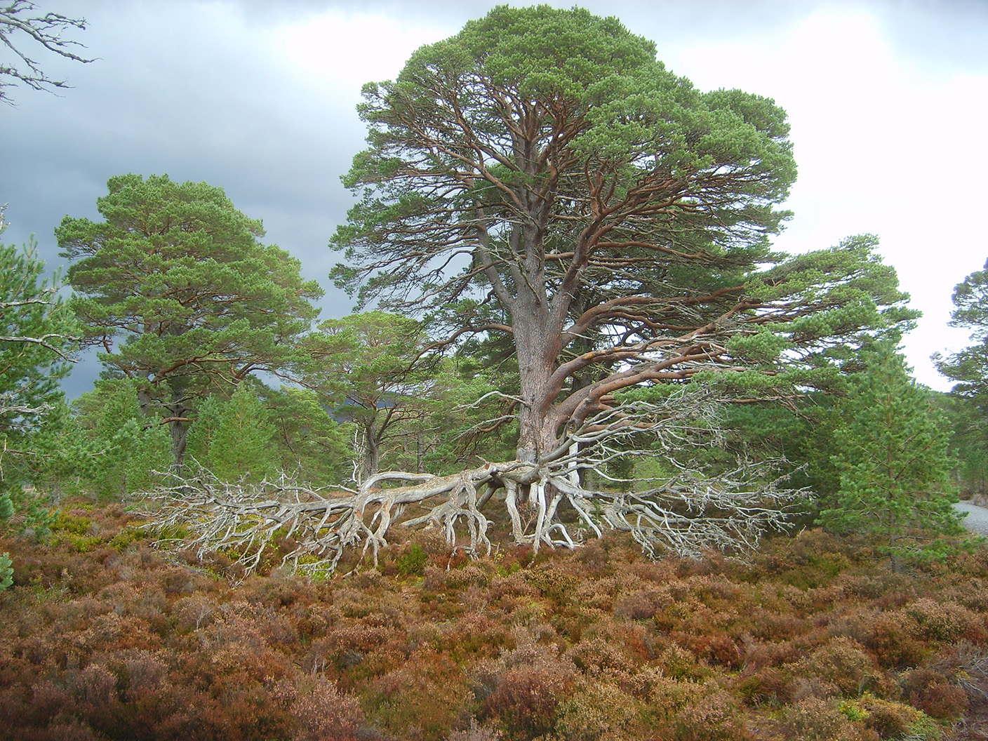 3  the Caledonian Forest with Scots Pine.JPG